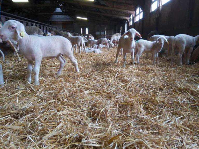 Nouveaux agneaux de la Ferme d'Ambias à Gaec