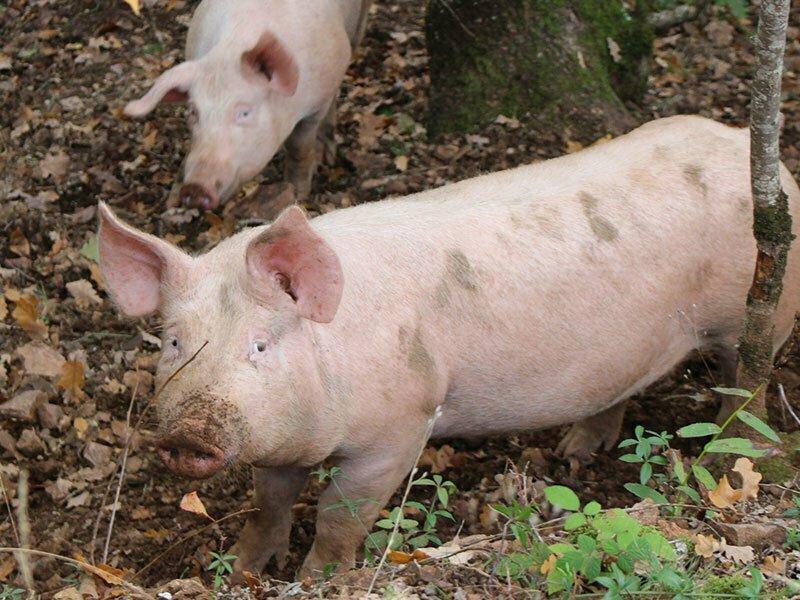 Élevage de Cochon en pleine nature, charcuterie, Ferme d'Ambias à Gaec