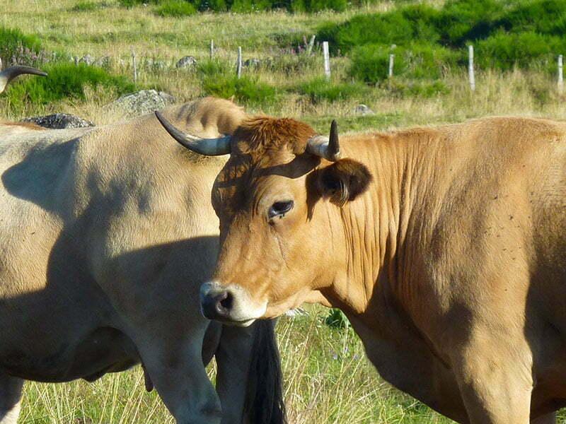 Vache Aubrac de la Ferme d'Ambias à Gaec